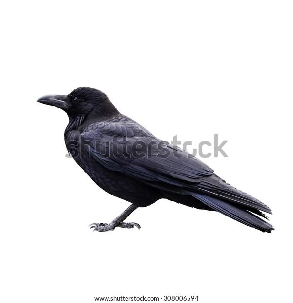 raven bird isolate on white background