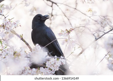 Raven bird perching and the Cherry Blossom trees and flowers Sakura in Tokyo.