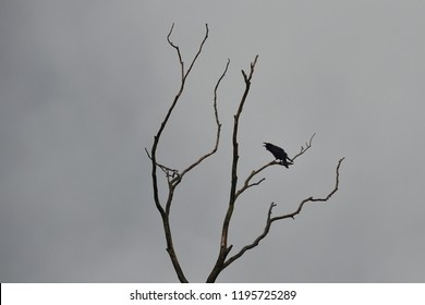 Raven calling on a tree