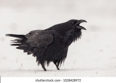 Raven calling in the snow