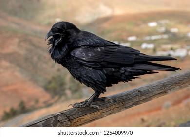 Raven close up, black Raven bird