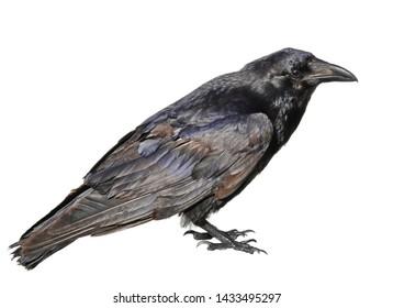Raven closeup isolated on white, Corvus corax, birds of Greenland