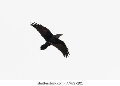 A Raven, Common Raven, or Northern Raven, Corvus corax, adult bird, in flight, cutout against white background. Dorset, England, UK.