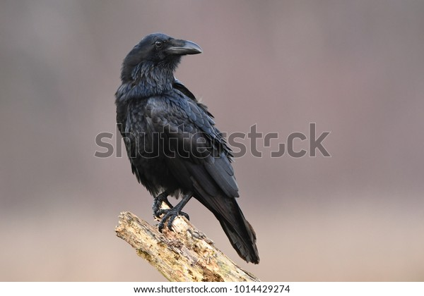 Corbeau (Corvus corax)