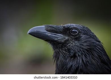 The Raven (Corvus corax), Canada