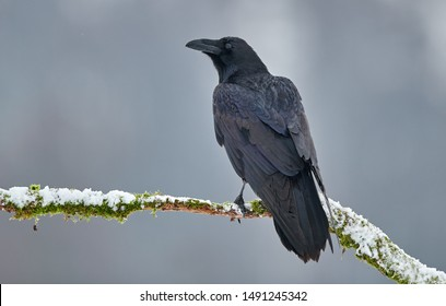 Raven (Corvus corax) close up