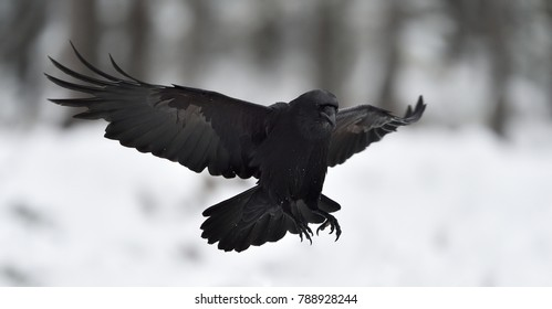 Raven (Corvus corax) in flight. Landing.