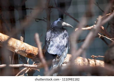 Raven (Corvus corax) in the Moscow Zoo