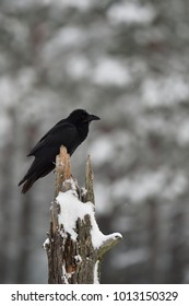 Raven (Corvus corax) on a tree, snowy forest as a background