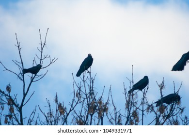 Raven (Corvus corax) perched on a tree branch and blue sky in the background