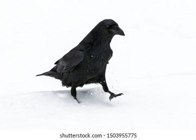 Raven, Corvus corax, a single adult bird walking in snow during a snow shower, Jasper, Canada, November