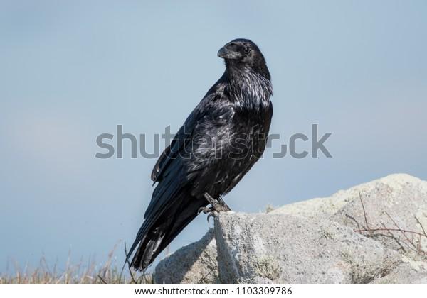 Raven Corvus Posing on a Rock