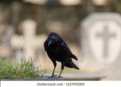 Raven crow (black bird) perch on a grave in a cemetery with cross symbols on background
