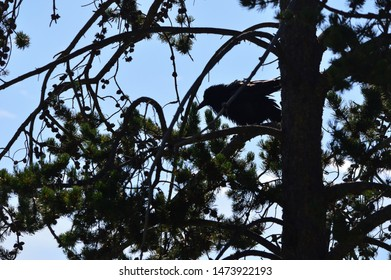Raven crow in dark tree branches.