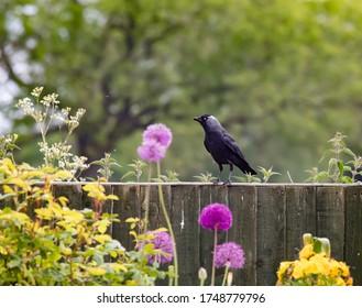 Raven Crow in an English garden during lockdown 2020
