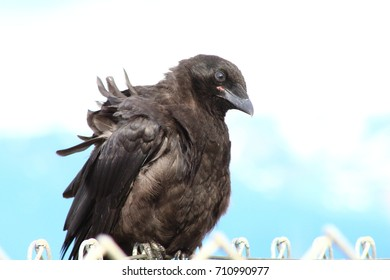 Raven or crow on beach