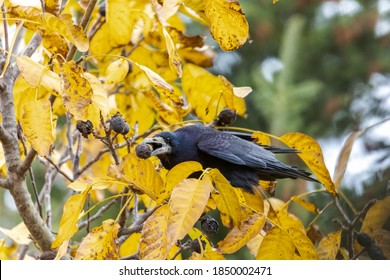 a raven crow sits in a walnut tree and steals nuts