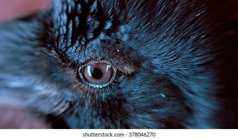 Raven. Eye of the crow. Macro.