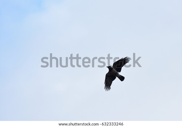 The raven flies in the sky in search of food