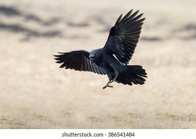 Raven Flight nude 394