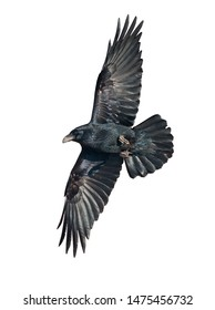 Raven in flight isolated on white