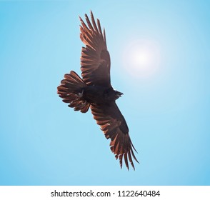 raven flying against the sun and blue sky