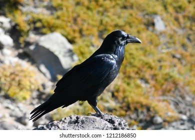 Raven found at McNeil Point in Oregon. Fall of 2018.