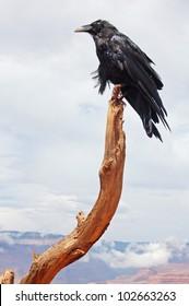 Raven - guard of the Grand canyon, Arizona, USA