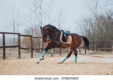 A raven horse in the saddle and bridle runs on the line during training. Horse exercise in paddock