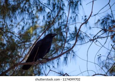 Raven indise the park Rubén Perez, La Aldea, Gran Canaria