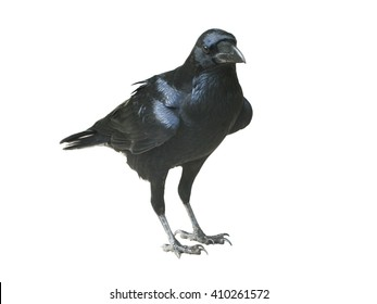 Raven isolated on white background - An Actual Raven unlike half the other Birds which show up under this very specific search criteria which range from Rooks to Black birds - Raven is King