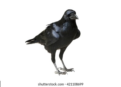 Raven Isolated - Raven standing on flat ground