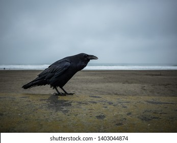 Raven on concrete ledge. A large raven standing on a concrete ledge near a beach on an overcast day.