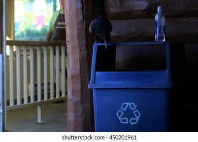 Raven on recycling bin, Bright Angel Lodge, Grand Canyon.
