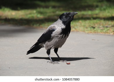 raven on a sidewalk with feed