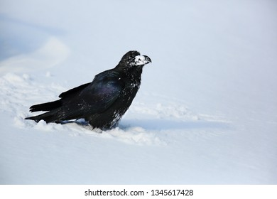 Raven on the snow I