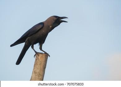 Raven on a stick on a background of blue sky