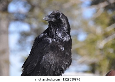 Raven on Tree and Closeup, Bryce Canyon, Utah