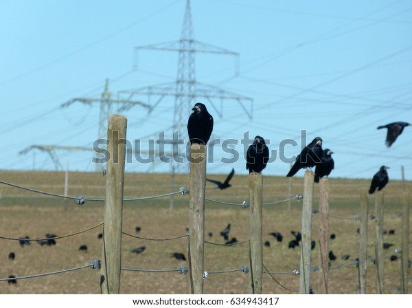 Raven on wooden fence