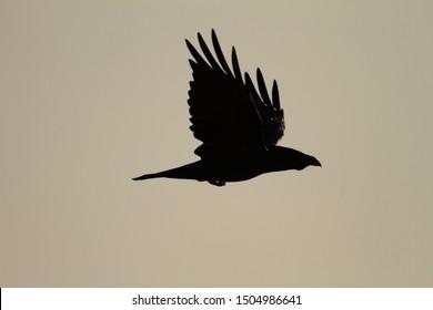 Raven silhouette in Telascica Nature Park
