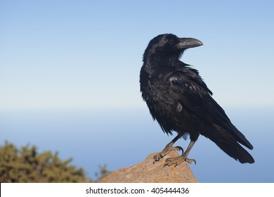Raven sitting on a stone on La Palma Island, attraction for tourists od Canary Islands, picture of raven from very close distance