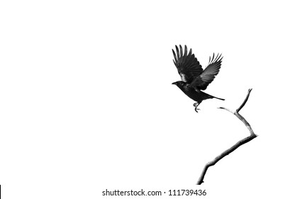 A raven taking flight isolated on  white  with copy space.