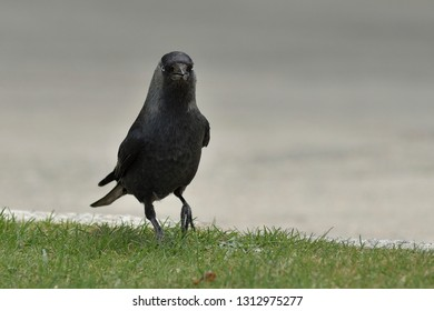 Raven walking on the grass and very arrogant
