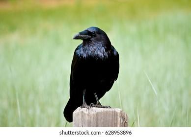 Raven in Yosemite