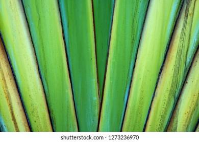 ravenala bananeira trunk.green background texture.