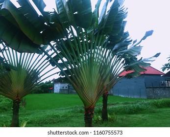 Ravenala or Traveller's Tree or Traveller's Palm In The Garden Bali Indonesia