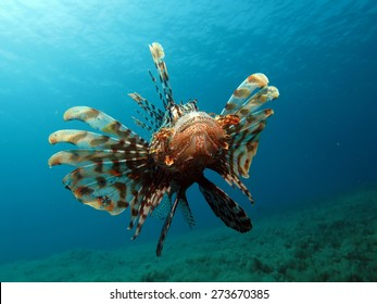 Ravenous lionfish hovering above seagrass and algae, looking for food