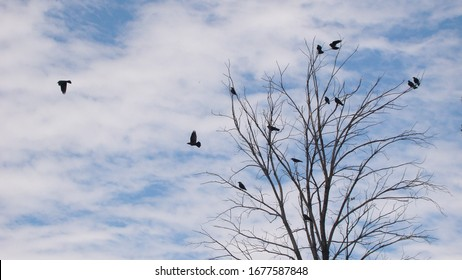 Ravens fly and sit over leafless trees Flock of crows in the Natural on blue sky and clouds background Birds is standing on the tree Crows group animals group Birds gathering Bird migration Crow crowd