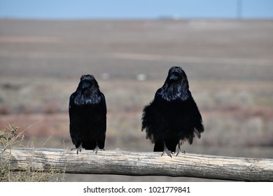ravens on a cold winter morning in Arizona