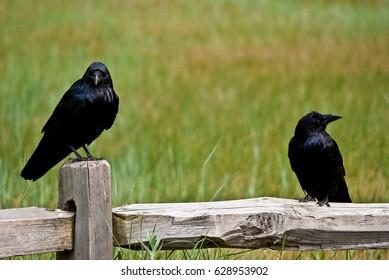 Ravens in Yosemite